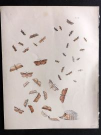 Humphreys & Westwood British Moths 1845 Hand Col Print 114